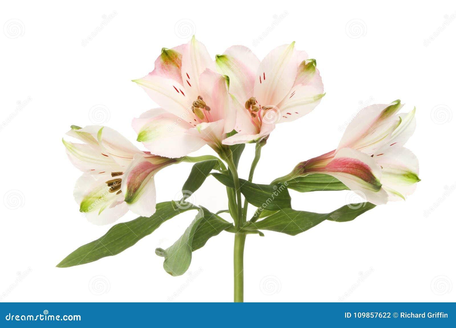 Alstroemeria flowers and foliage