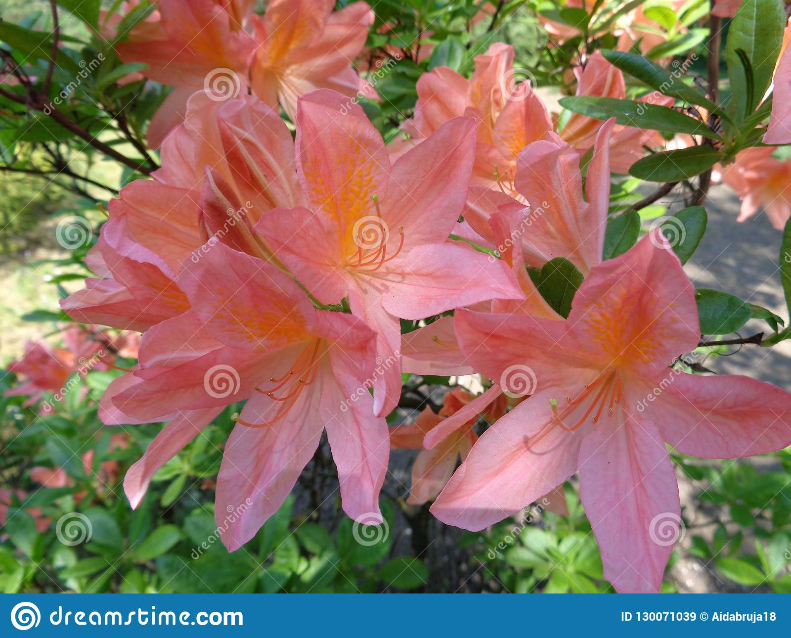 Alstroemeria Peruvian Lily Stock Image Image Of Colorful Composition 130071039