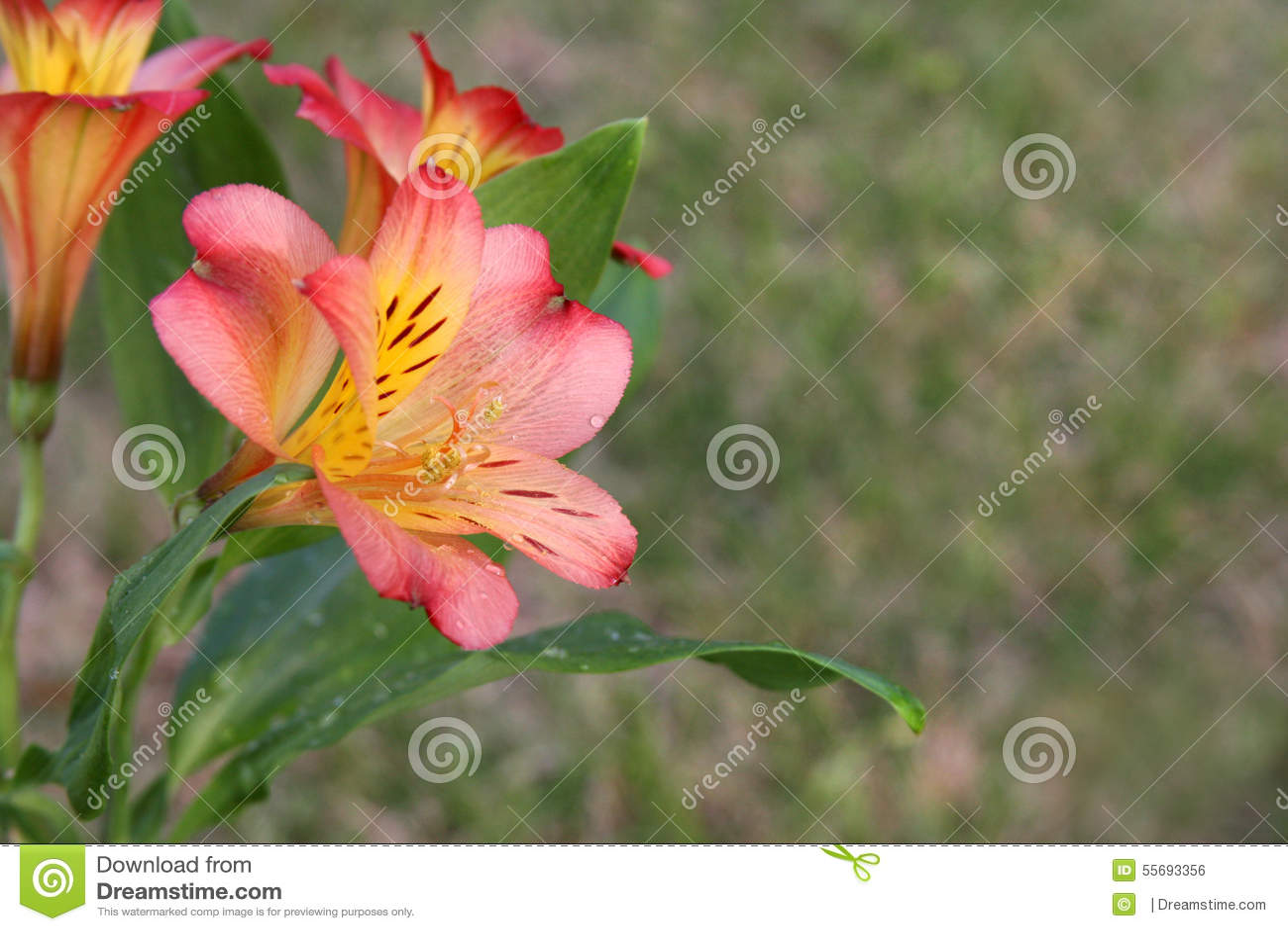 Alstroemeria saturne or peruvian lily flower stock photo image of alstroemeria saturne or peruvian lily flower izmirmasajfo Gallery