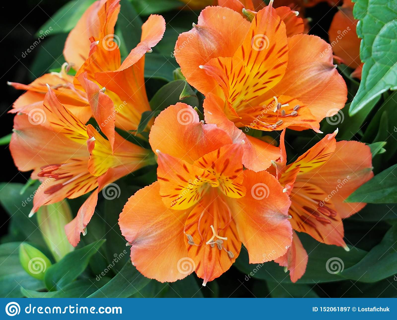 Alstromeria anaranjado o Lily In Bloom peruana
