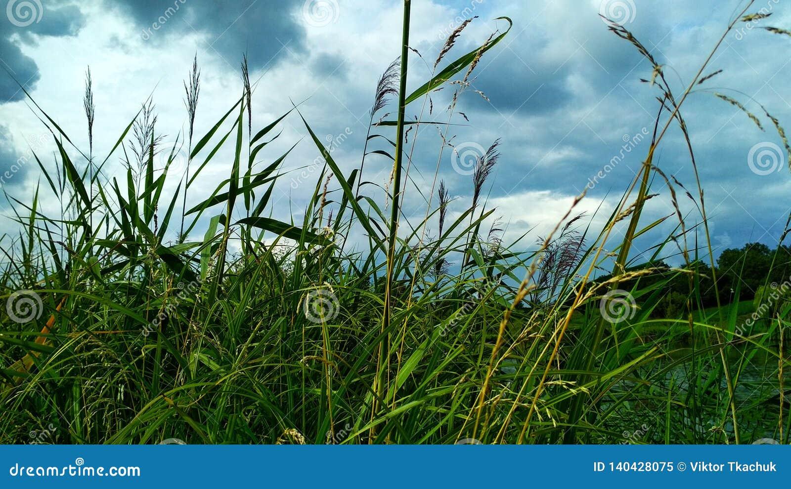 Alta erba verde contro un bello cielo