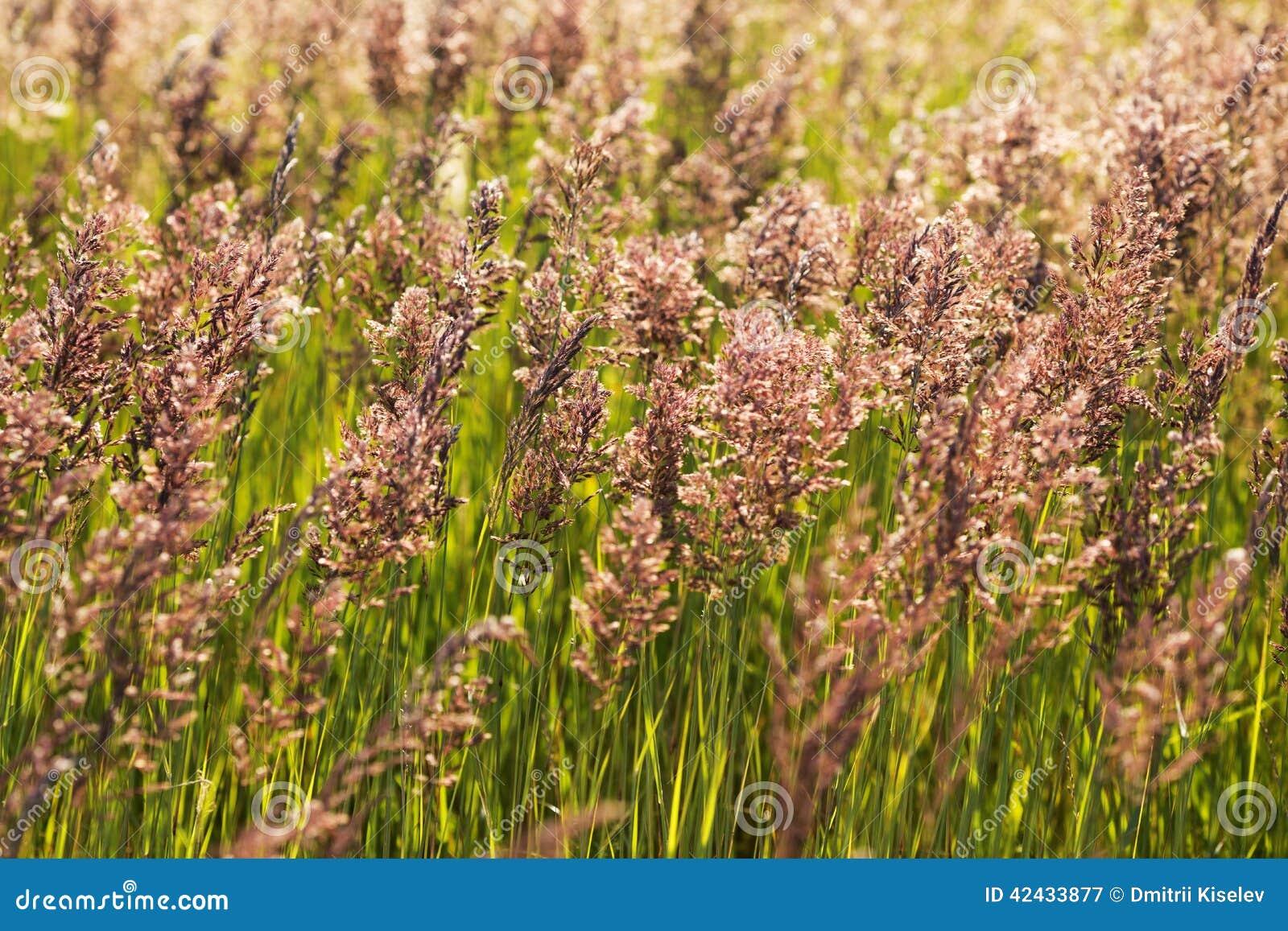 Alta hierba en el campo