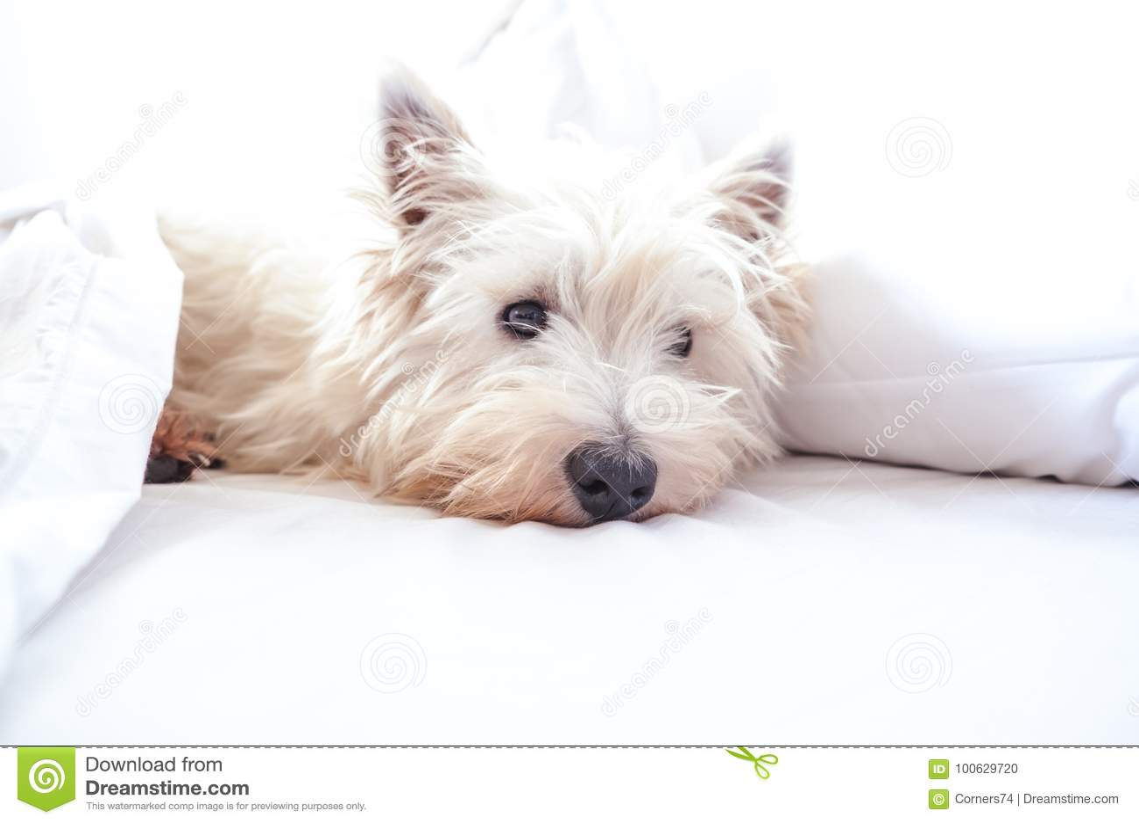 Alta imagen dominante del perro del westie del terrier blanco de montaña del oeste en cama