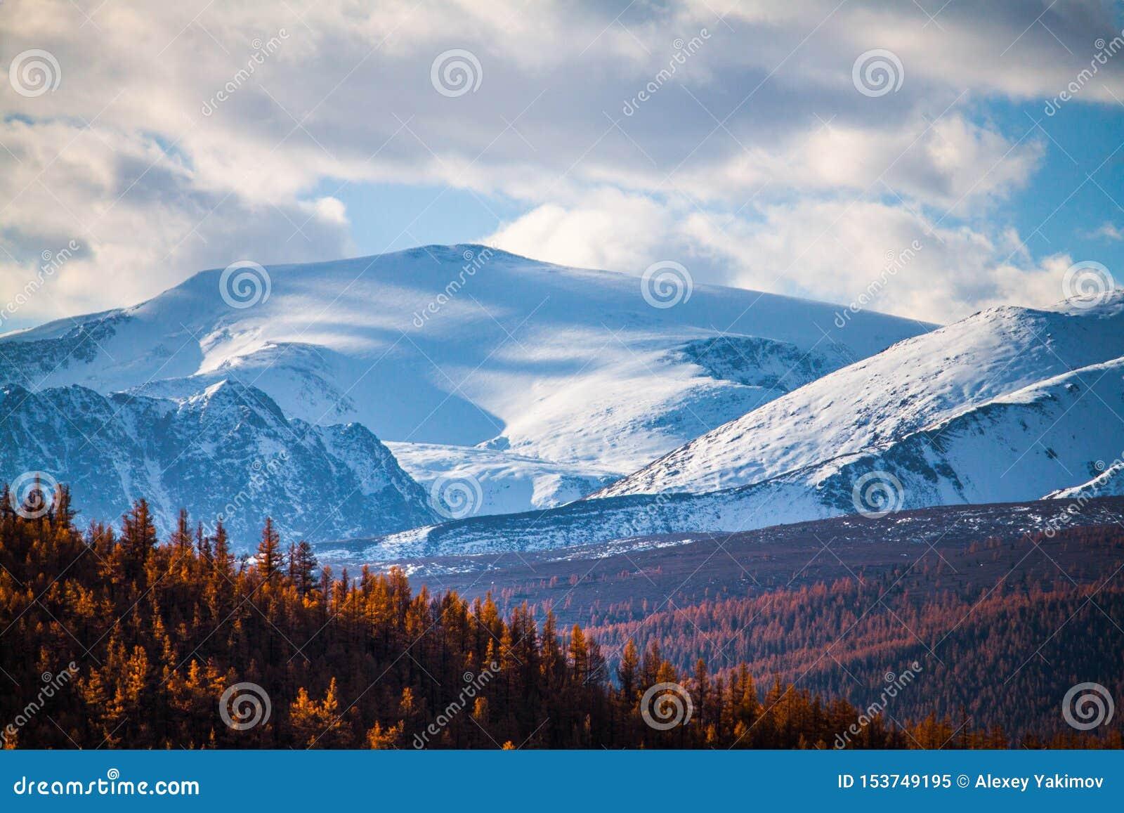 Altai-Republik Der Herbstlärchenwald und die Schönheit von schneeweißen Spitzen