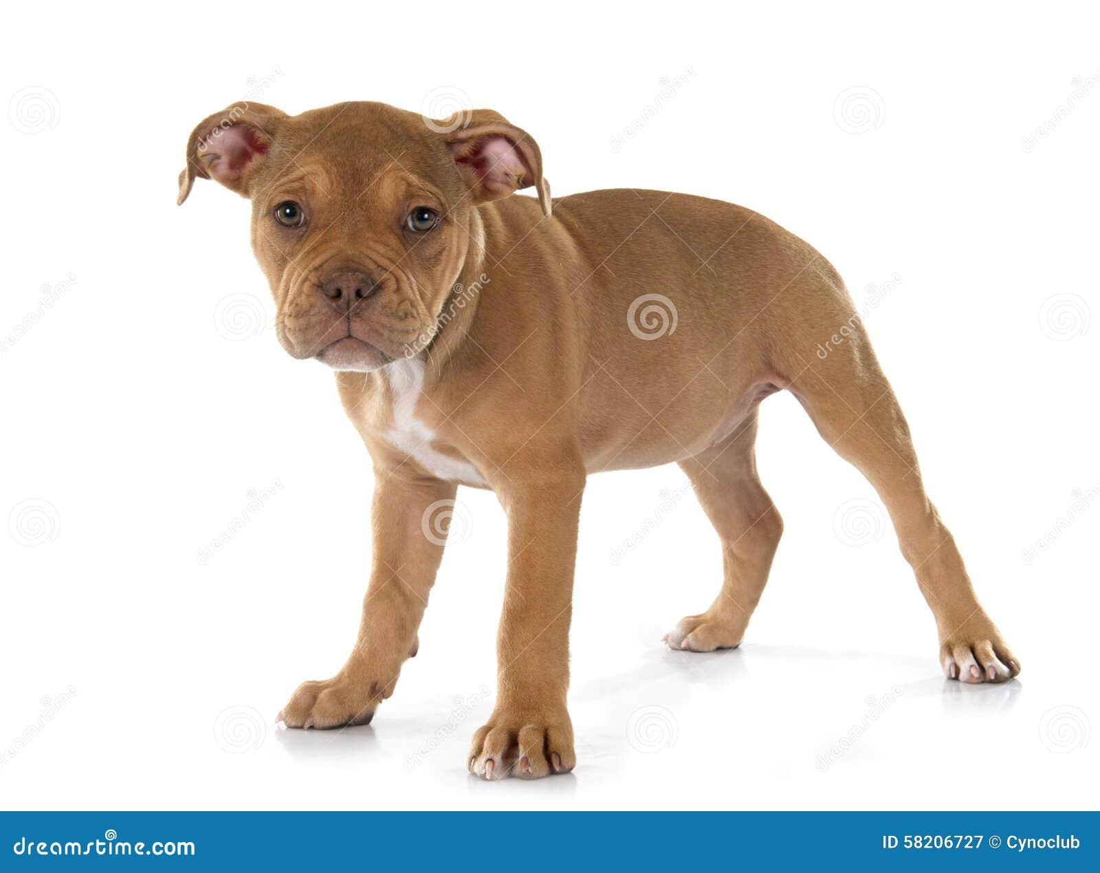 alte englische bulldogge des welpen stockbild bild von braun getrennt 58206727. Black Bedroom Furniture Sets. Home Design Ideas