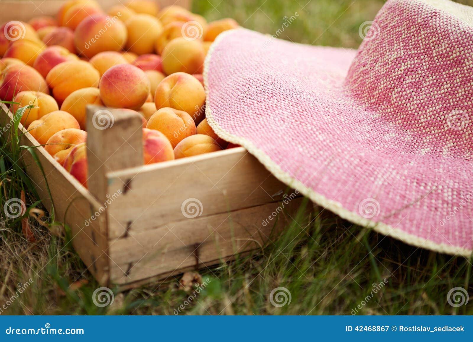 Alte Holzkiste mit frischen Aprikosen im Garten