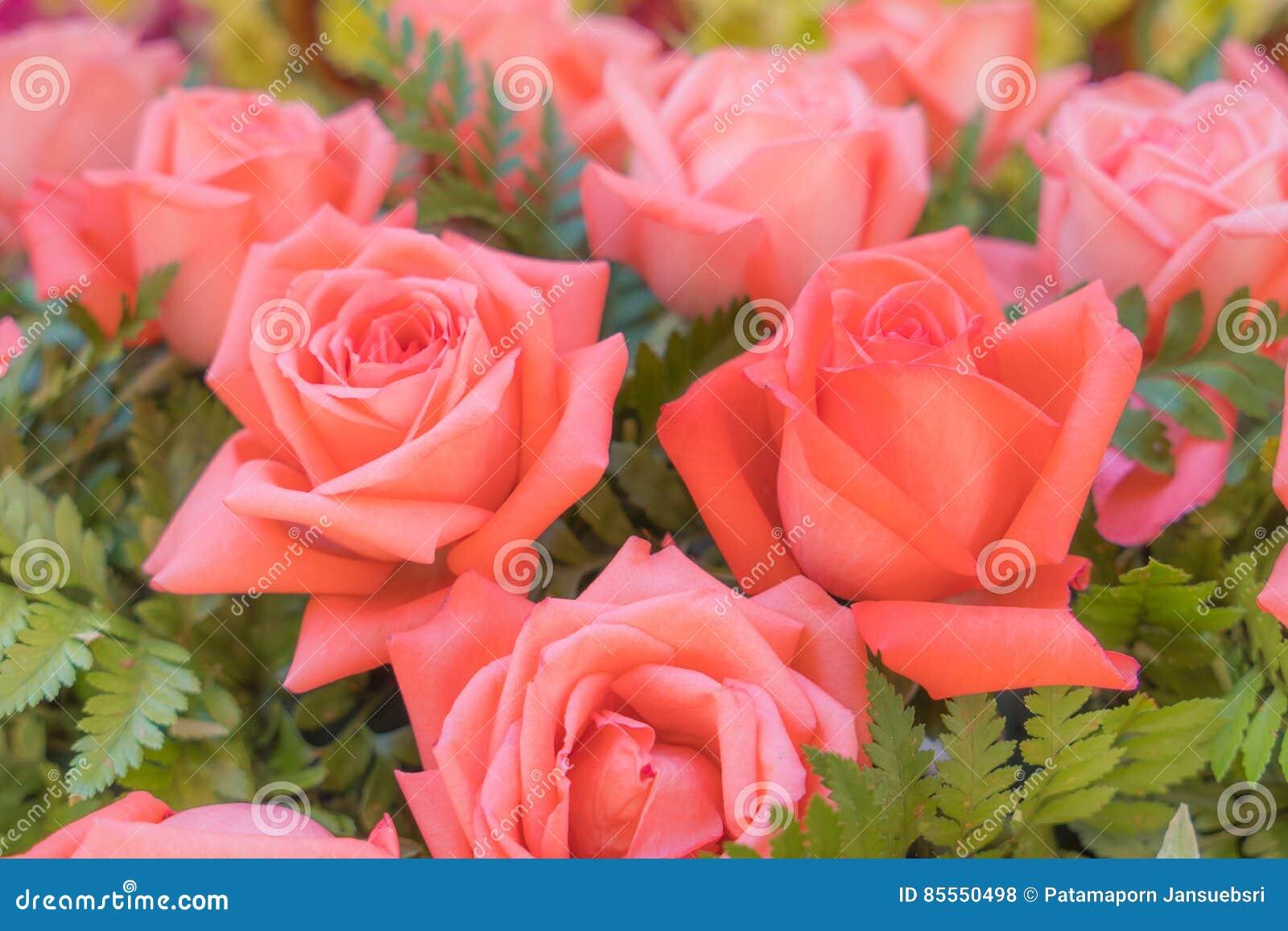 Alte rosafarbene Rosen auf grünem Hintergrund