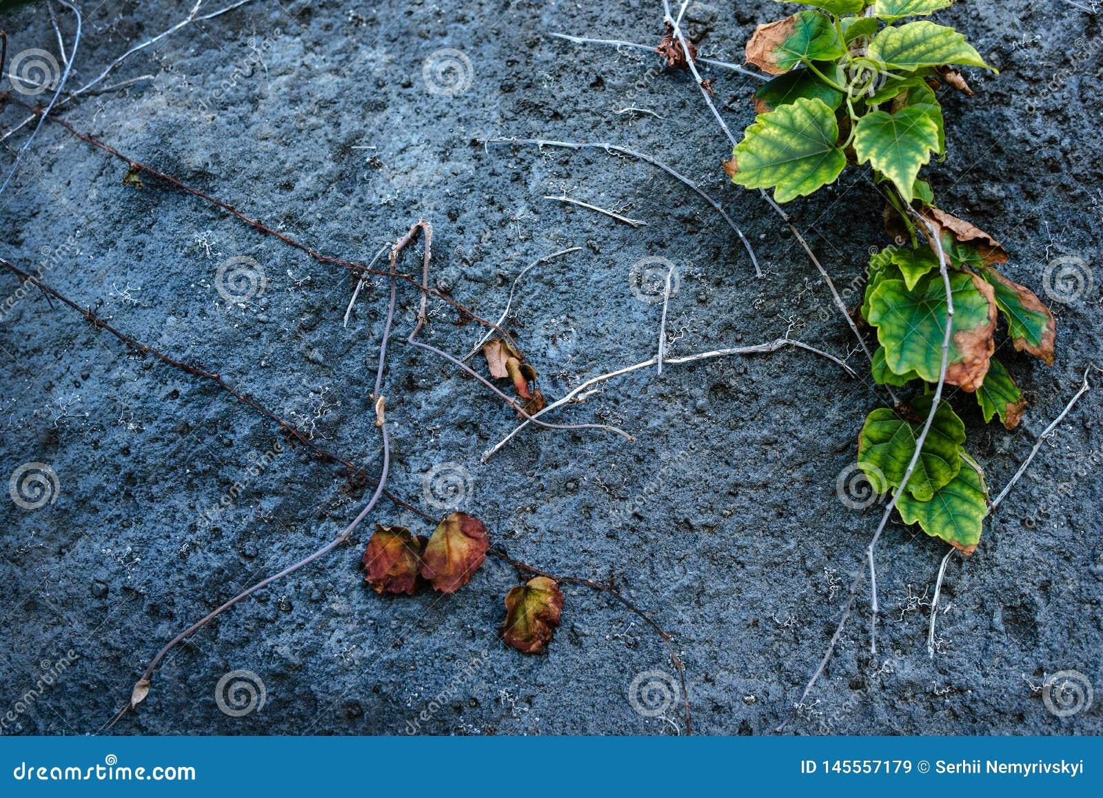 Alte Steinwand mit Efeu als Hintergrund getrockneten Blättern, stieg Dornen, Blumen