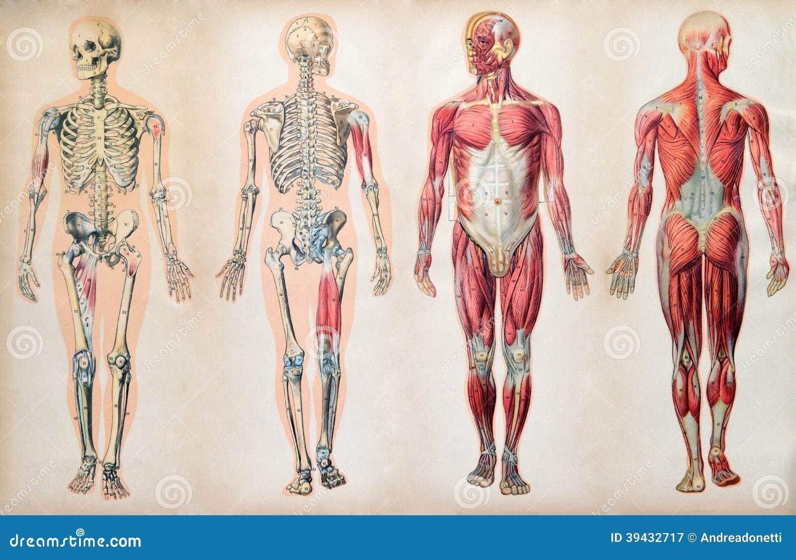 Alte Weinleseanatomiediagramme des menschlichen Körpers