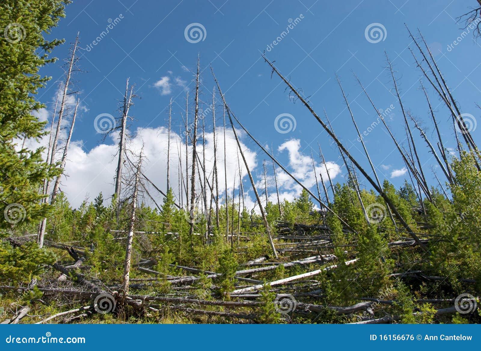 Alter Baum-Fall und bilden Raum für neues