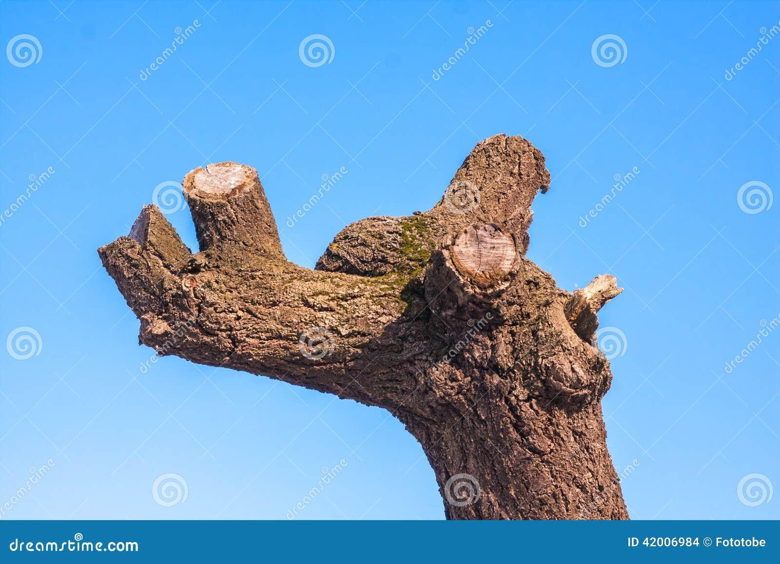 Alter Baum mit getrimmten Niederlassungen auf blauem Himmel