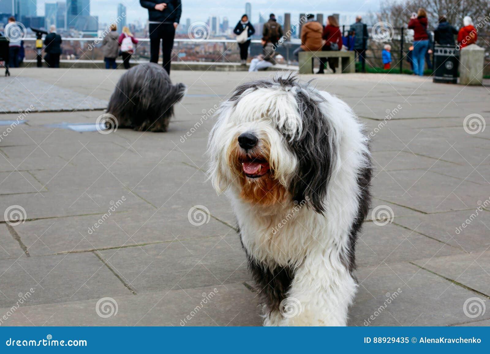 Alter englischer Schäferhund