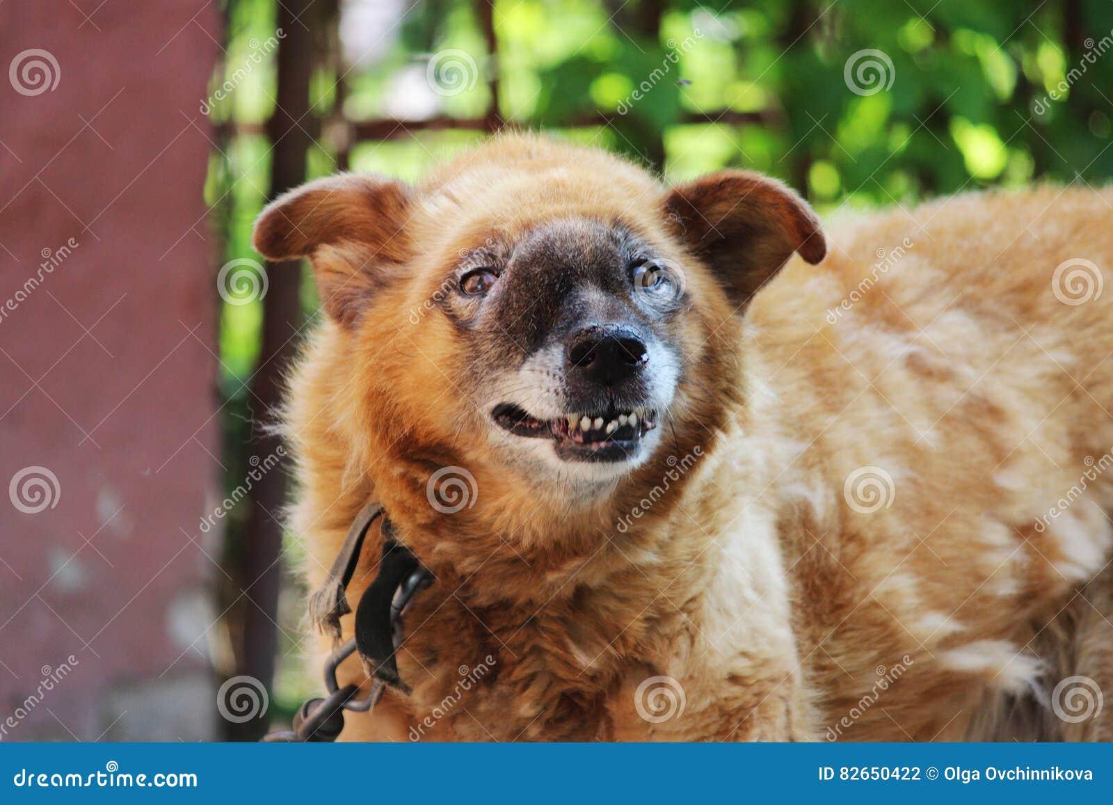 Alter Roter Kettenhund Mit Einem Bösartigen Funktionsunfähigen Tumor ...