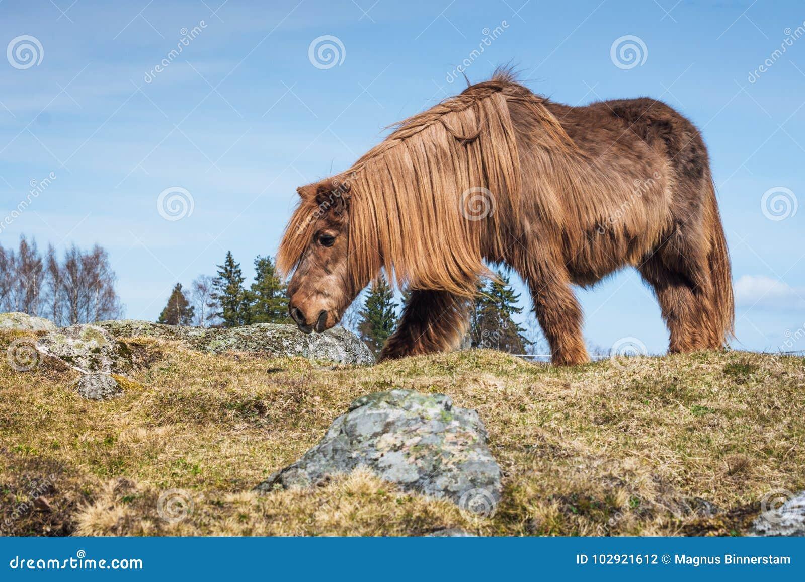 Altes isländisches Pferd