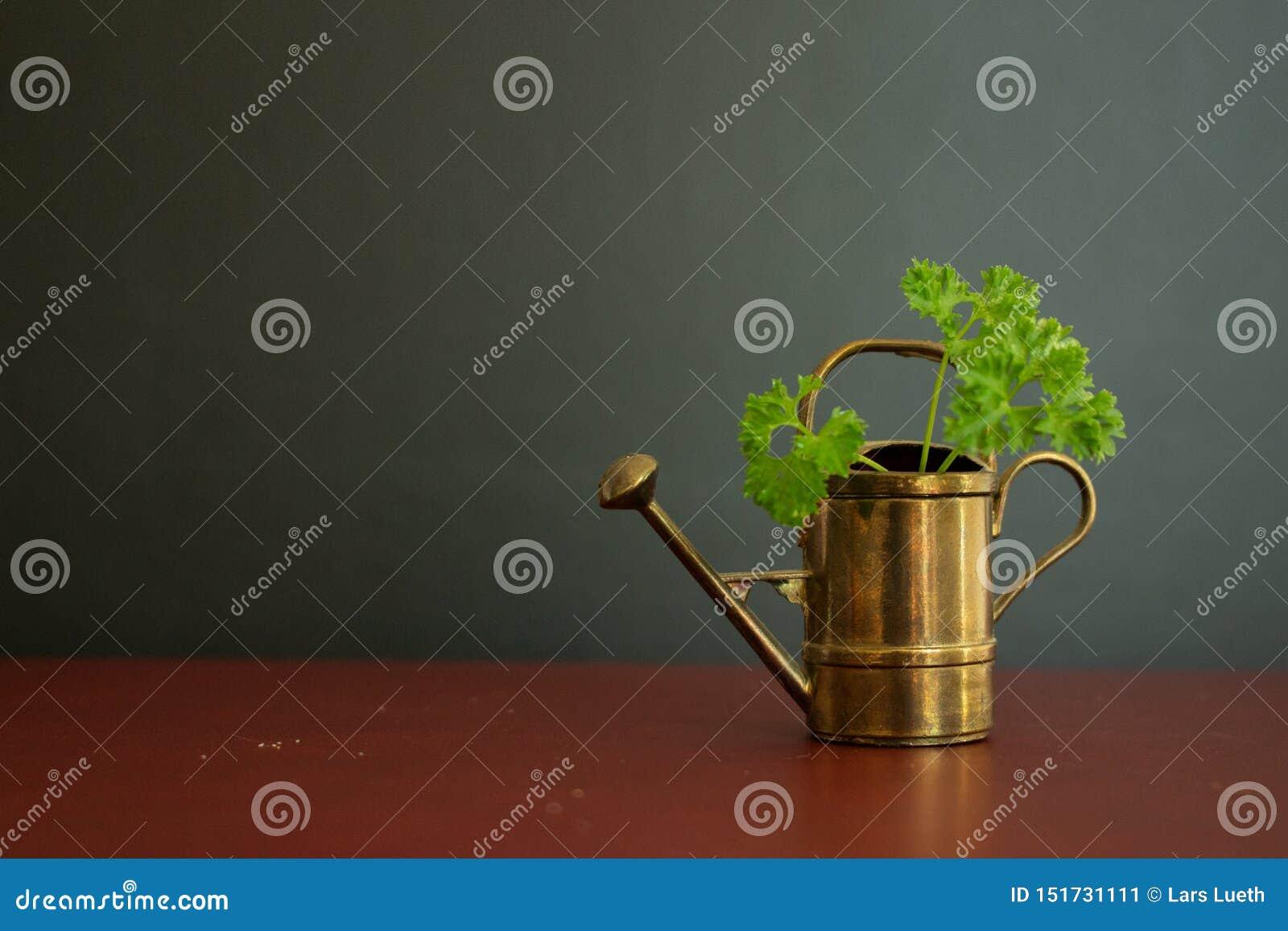 Altes und schönes Gießkannegartenwerkzeug mit grüner organischer Petersilie in ihr