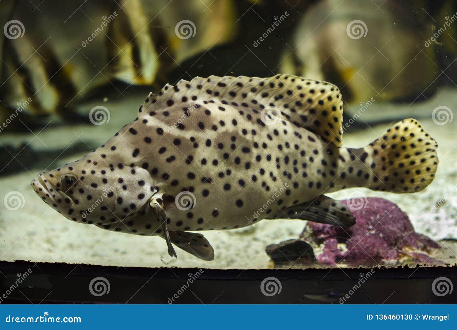 Altivelis jorobados de Cromileptes del mero