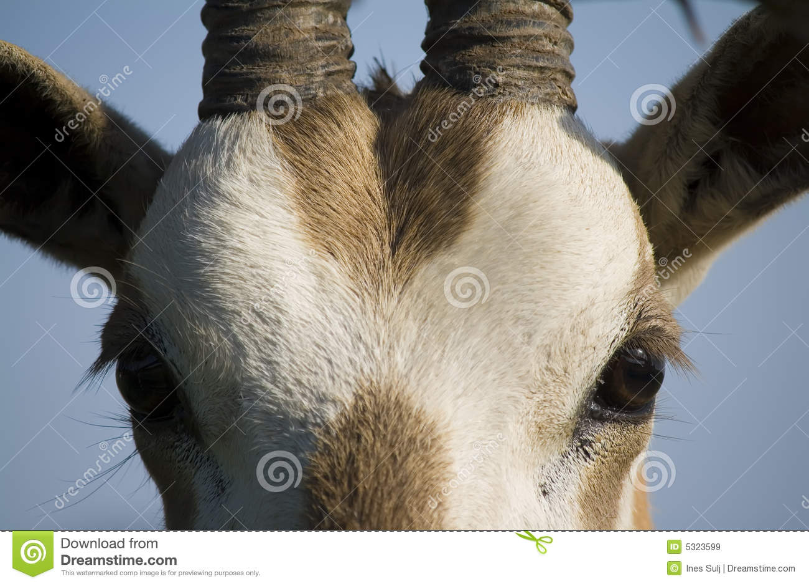Download Alto vicino del Oryx immagine stock. Immagine di hoofed - 5323599