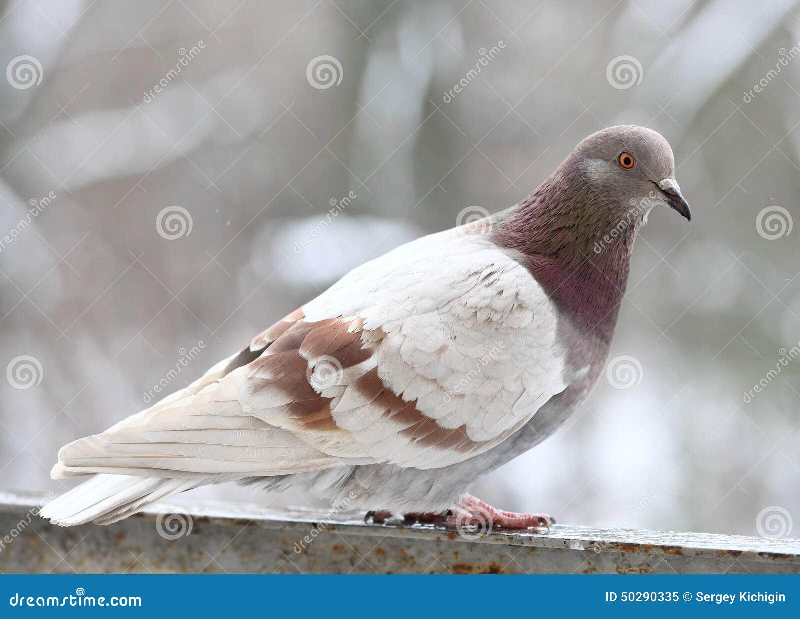 Alto vicino del piccione