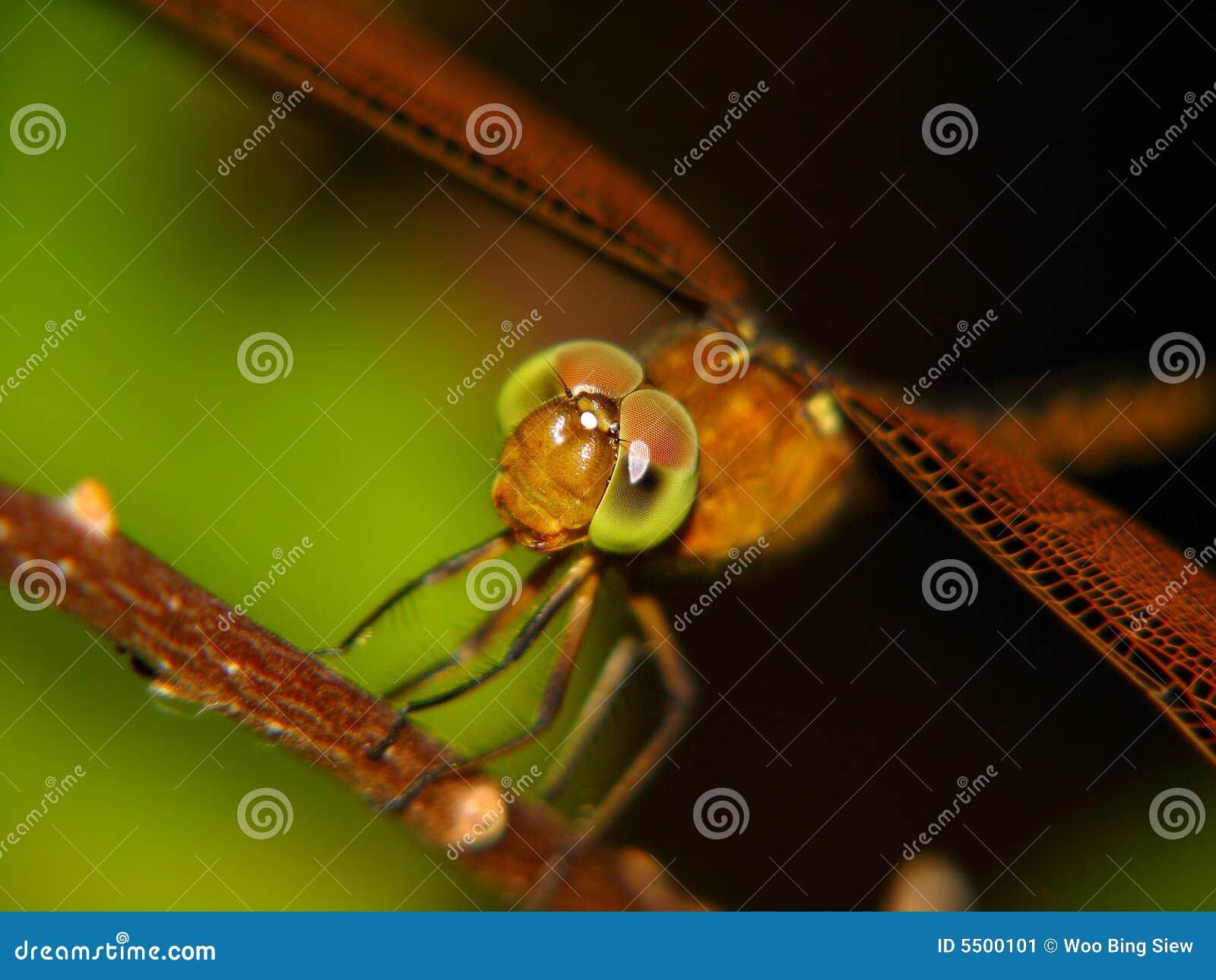 Alto vicino della libellula