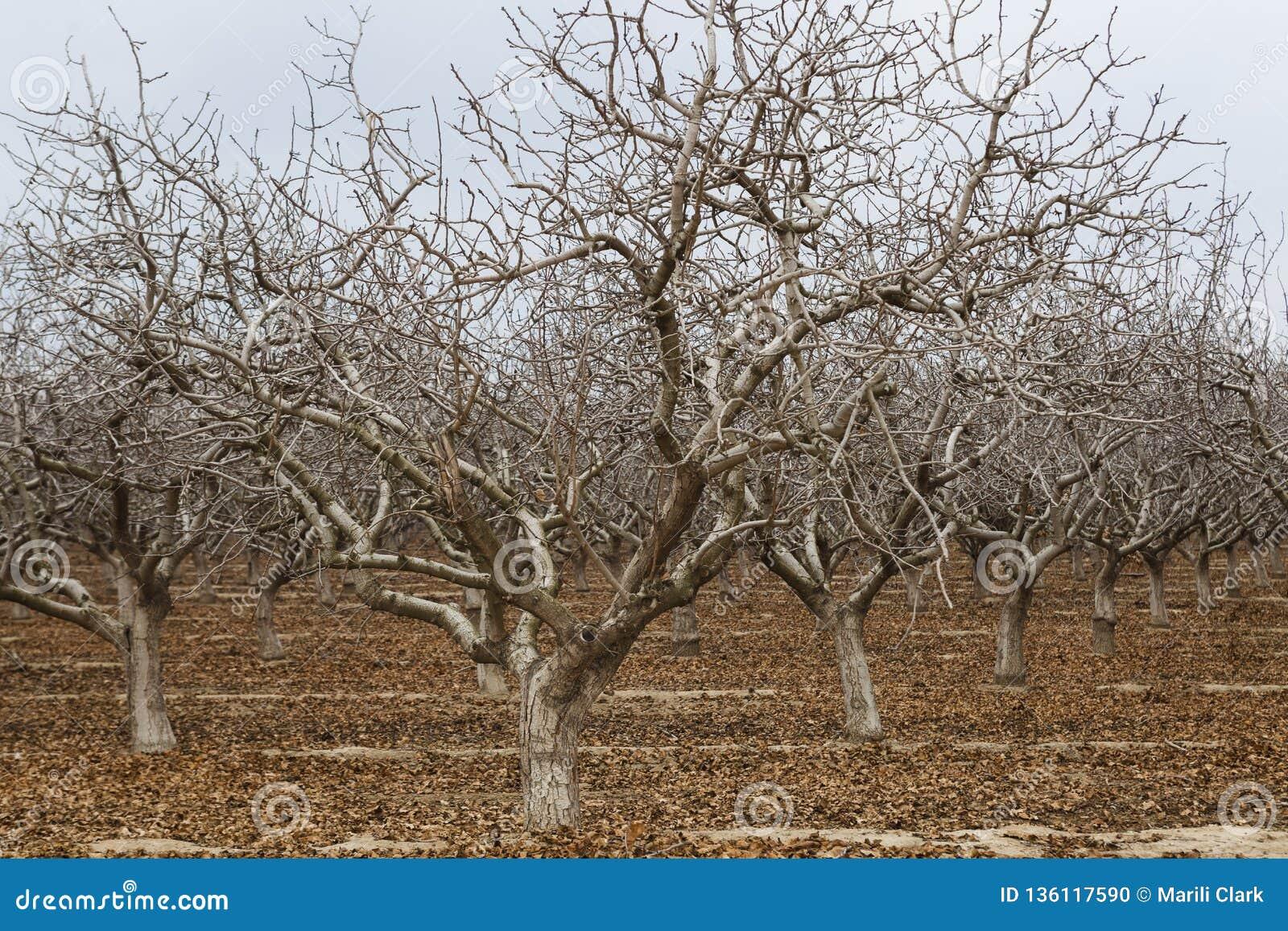Alton träd i Kalifornien under torka