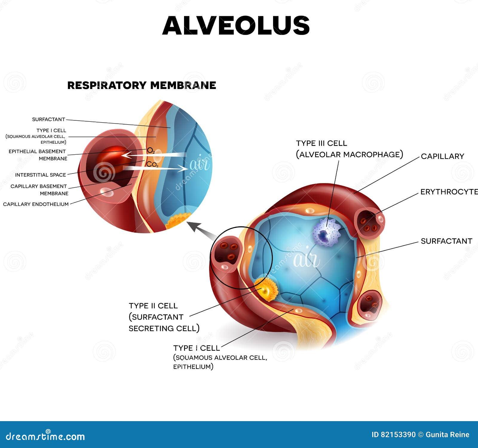Alvéoles anatomie, respiration