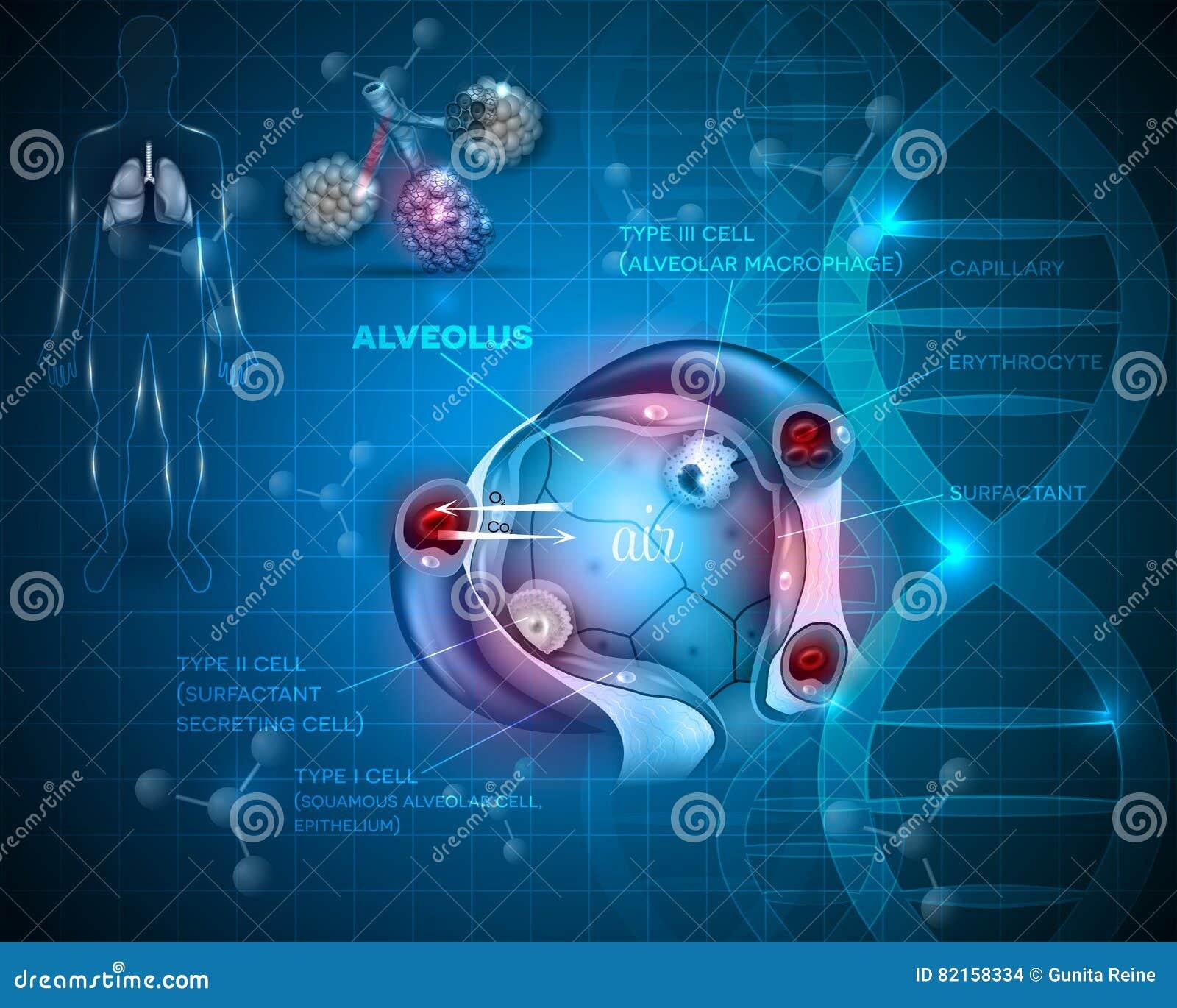 Alveolen Anatomie, Atmung vektor abbildung. Illustration von extern ...