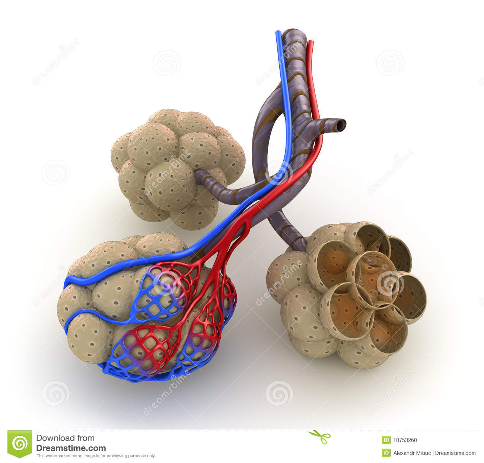 Alveolen in longen - bloed dat door zuurstof verzadigt