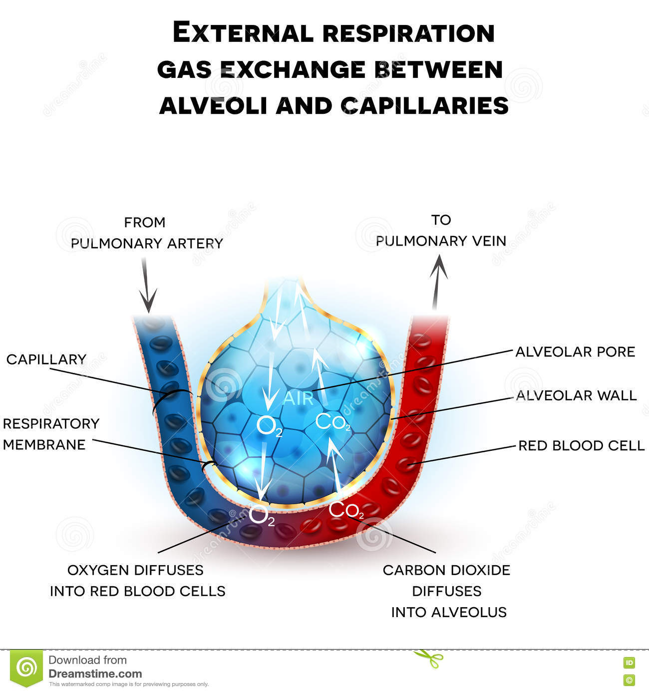 gas exchange Gas exchange we need to get oxygen from the air into the blood, and we need to remove waste carbon dioxide from the blood into the air moving gases like this is called gas exchange.