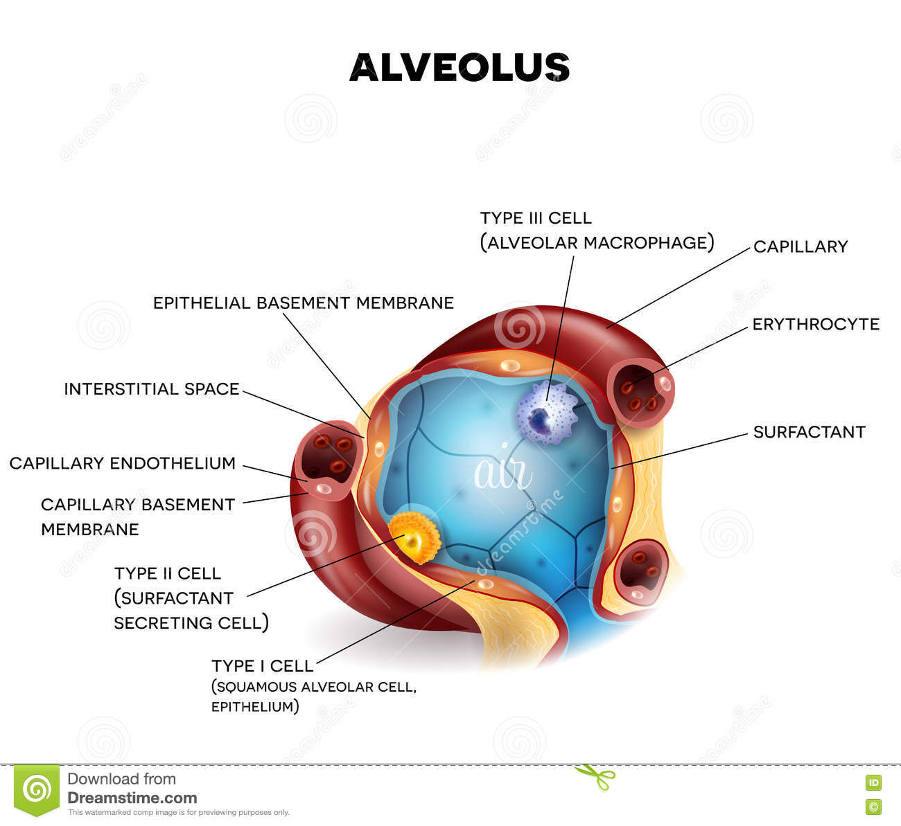 Alveolus Closeup Anatomy Stock Vector Illustration Of External