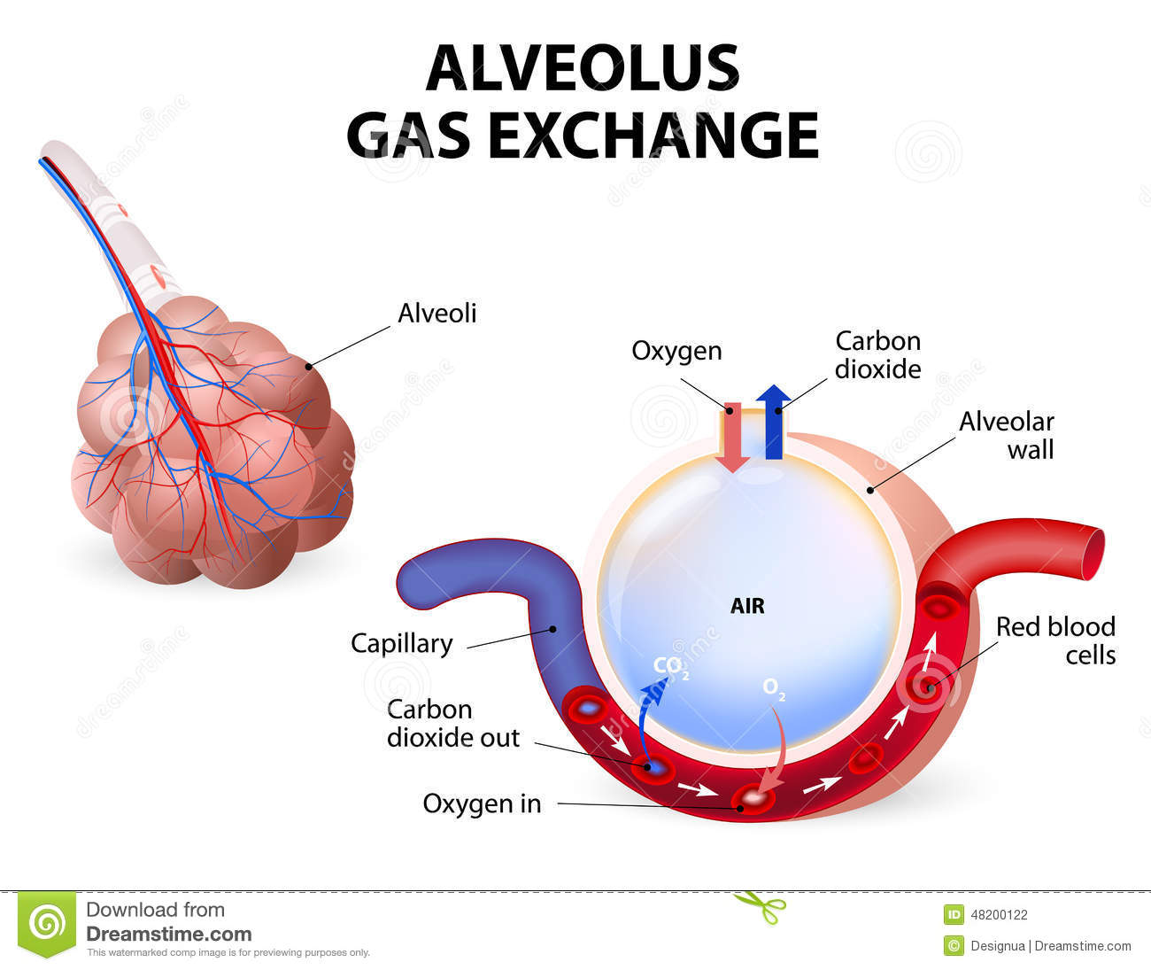 Alveolus Gas Exchange Stock Vector Illustration Of Blood 48200122