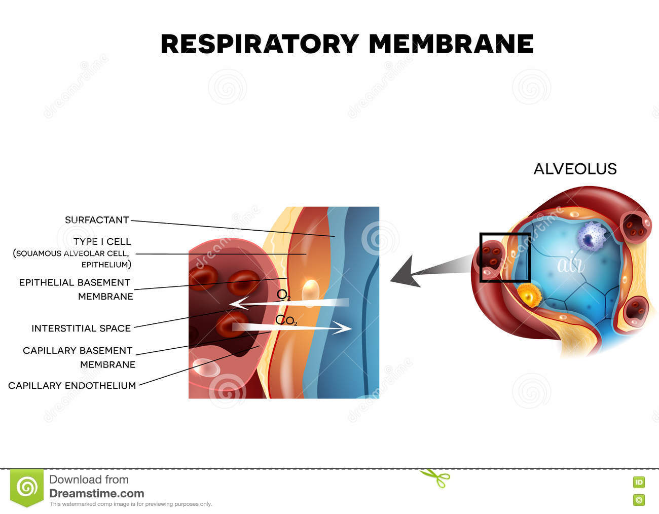 Alveolus And Respiratory Membrane Stock Vector - Illustration of ...