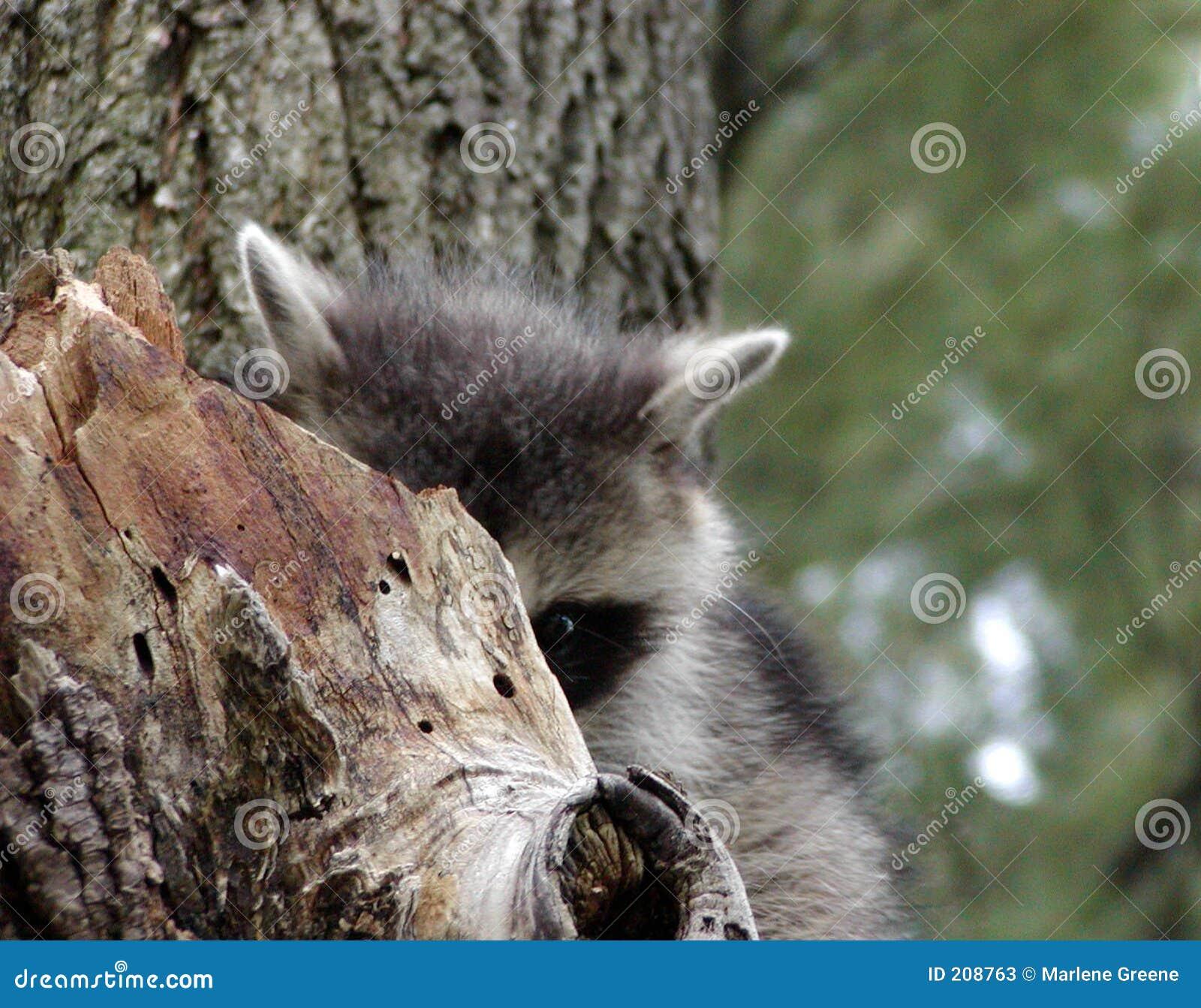 Alzi un Raccoon verticalmente di fischio