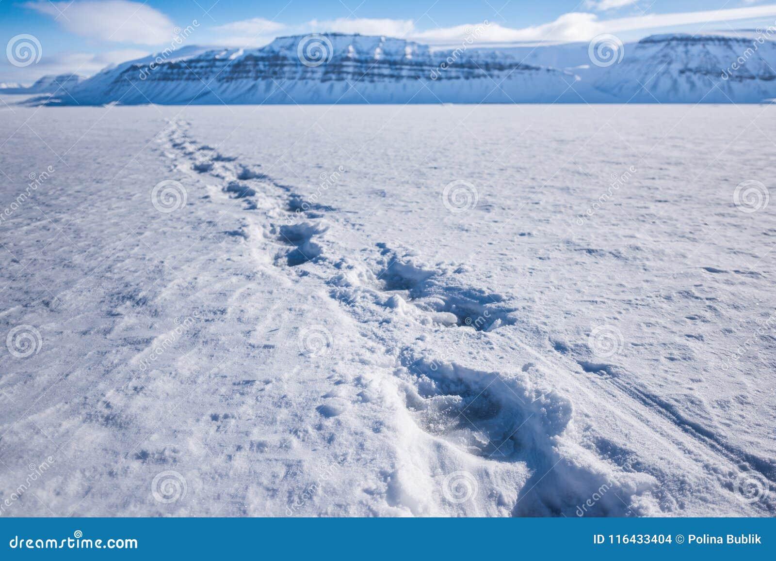 Aménagez la voie en parc d ours blanc de nature sur une banquise de ciel polaire de jour de soleil d hiver arctique du Spitzberg