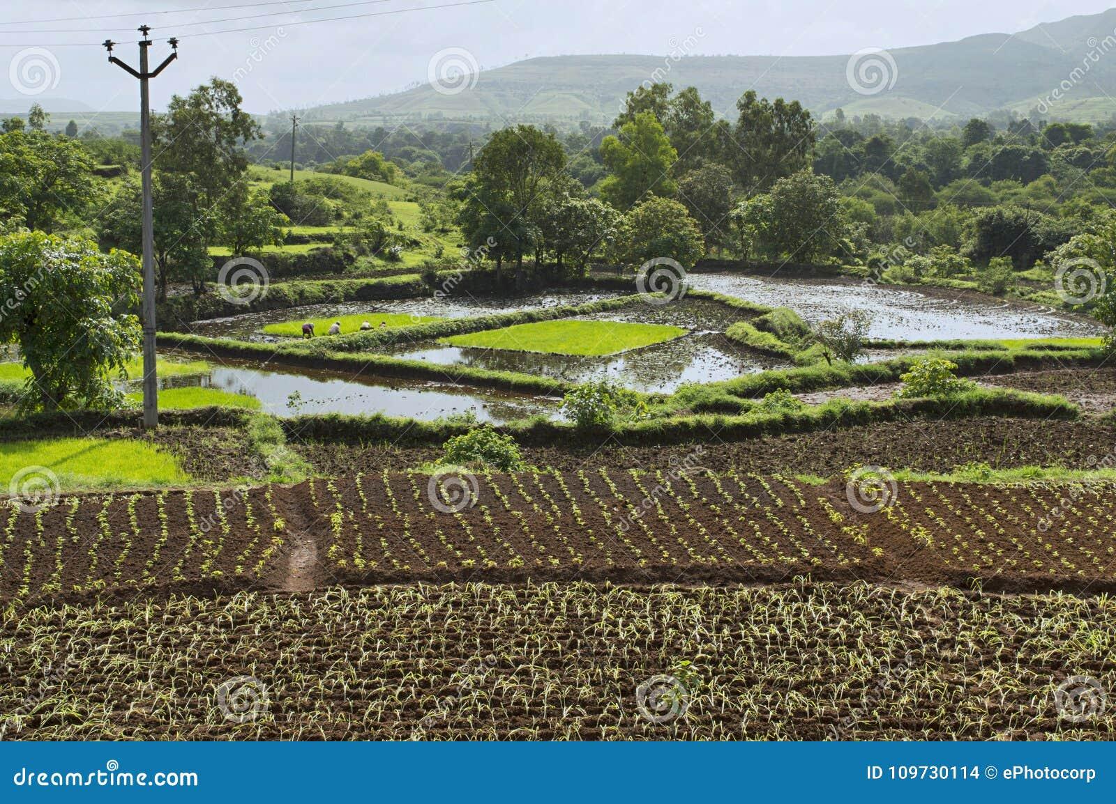 Aménagez la vue en parc du riz cultivant près de Bhor, Pune