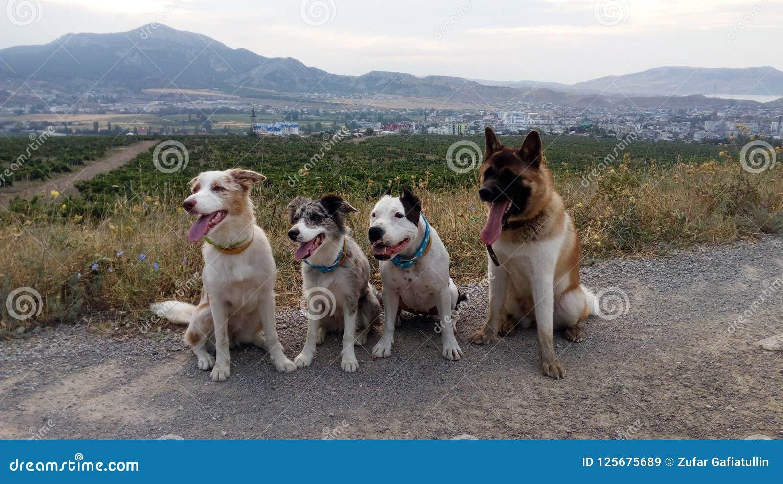Américain Akita border collie le Staffordshire Terrier