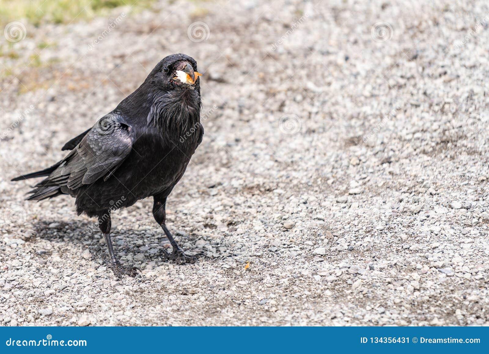 Américain Raven, Raven commun