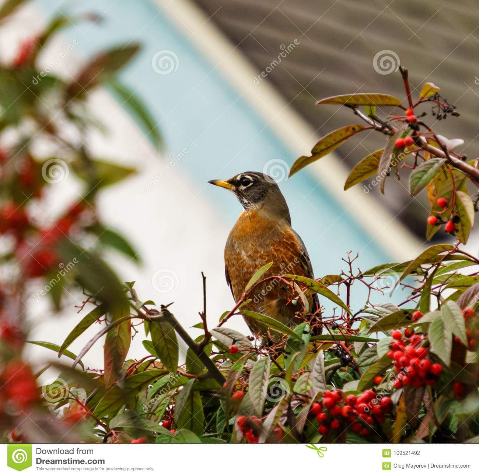 Américain Robin Perched sur une branche de buisson sur le fond lumineux