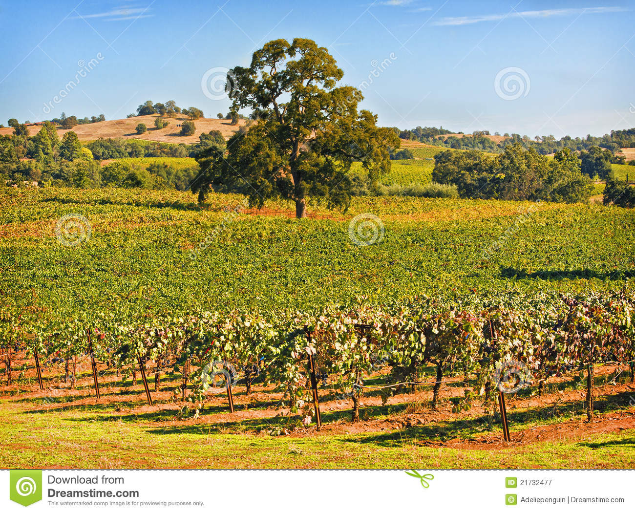 Amador County Vineyard, Californië