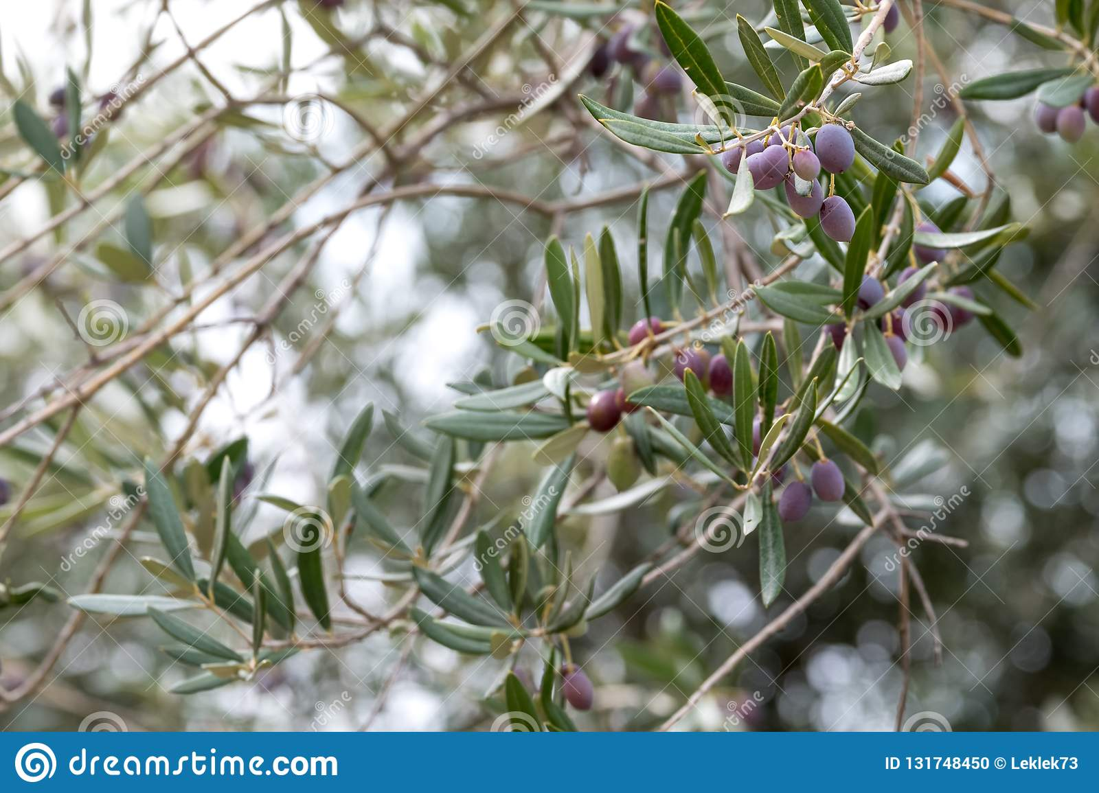 Olives Growing On Trees In A Grove In The Valley Of The Dragon