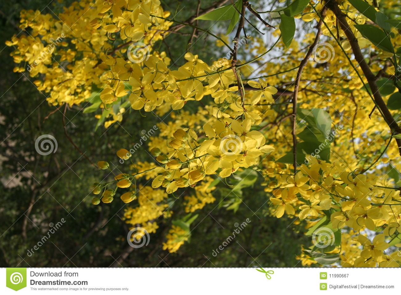 Amaltas Summer Yellow Flowers India Stock Image Image Of Blossoms