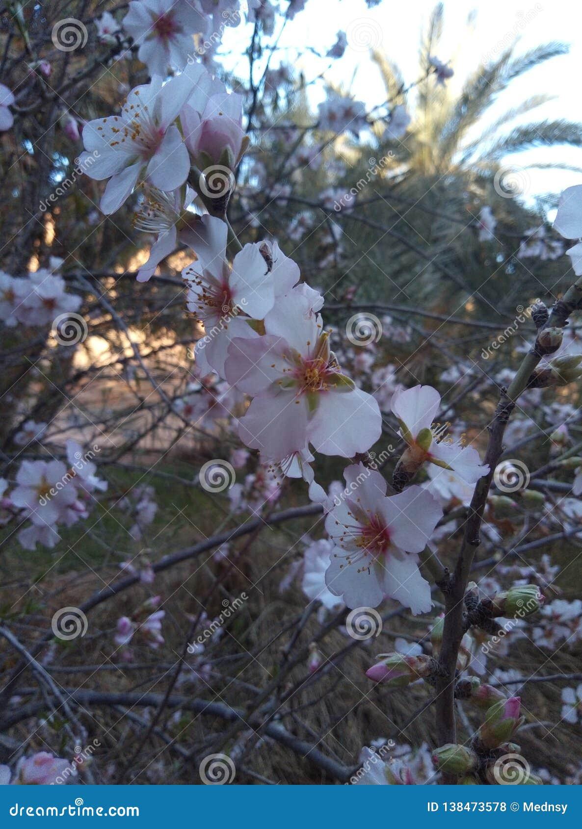 Amandelenboom