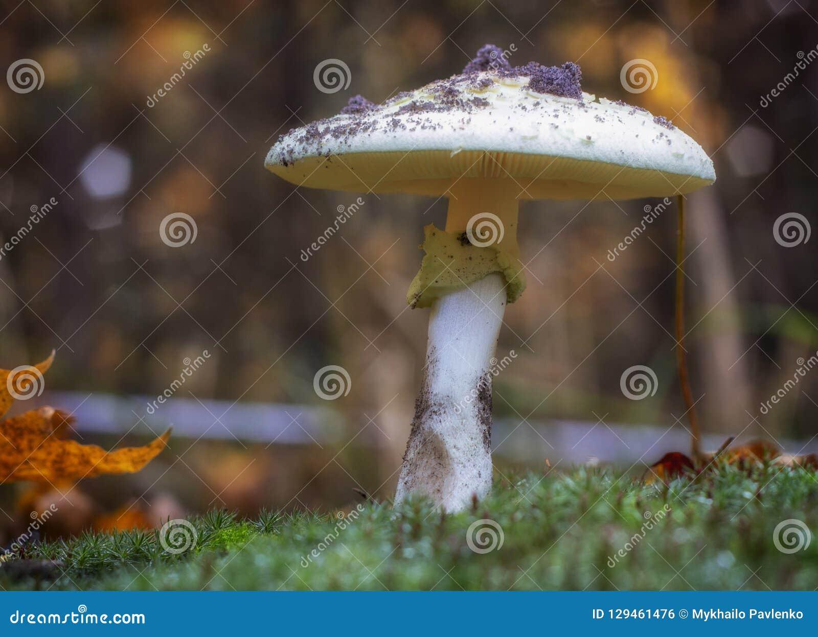 Amanita Phalloides grzyb, jadowity temat w dzikiej górze zamkniętej w górę deszczowego dnia na