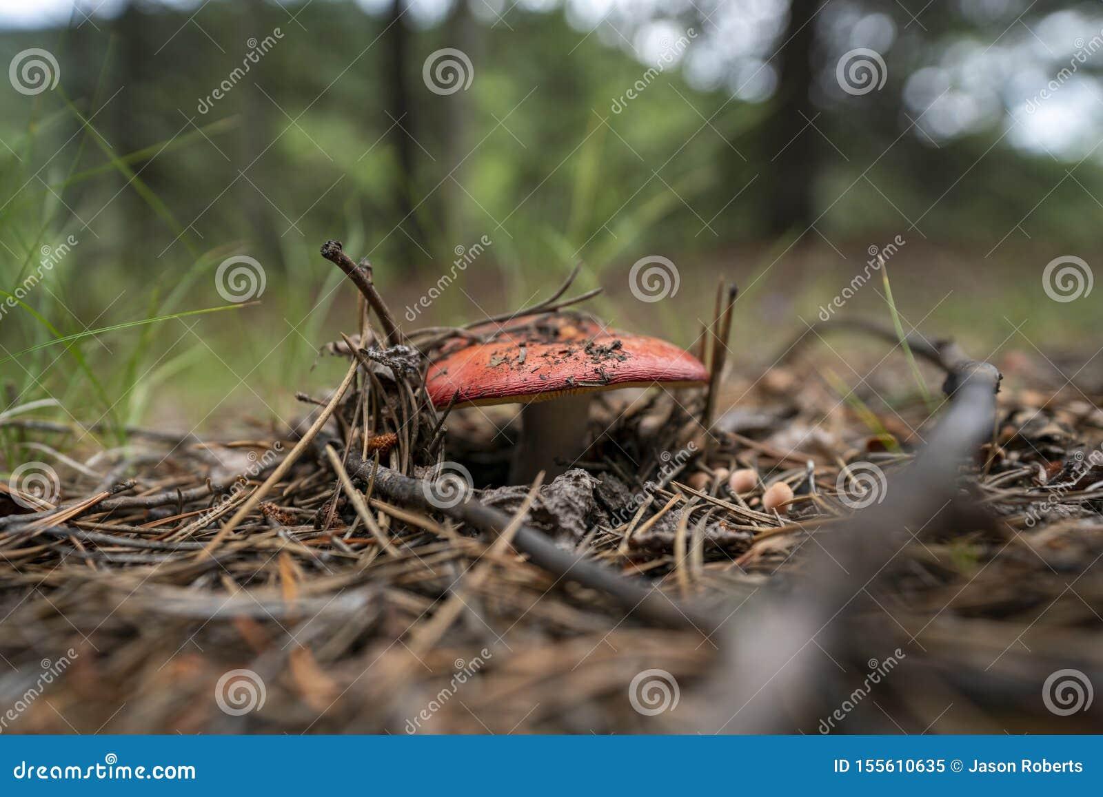 Amanitamuscariaflugsvamp Bokeh