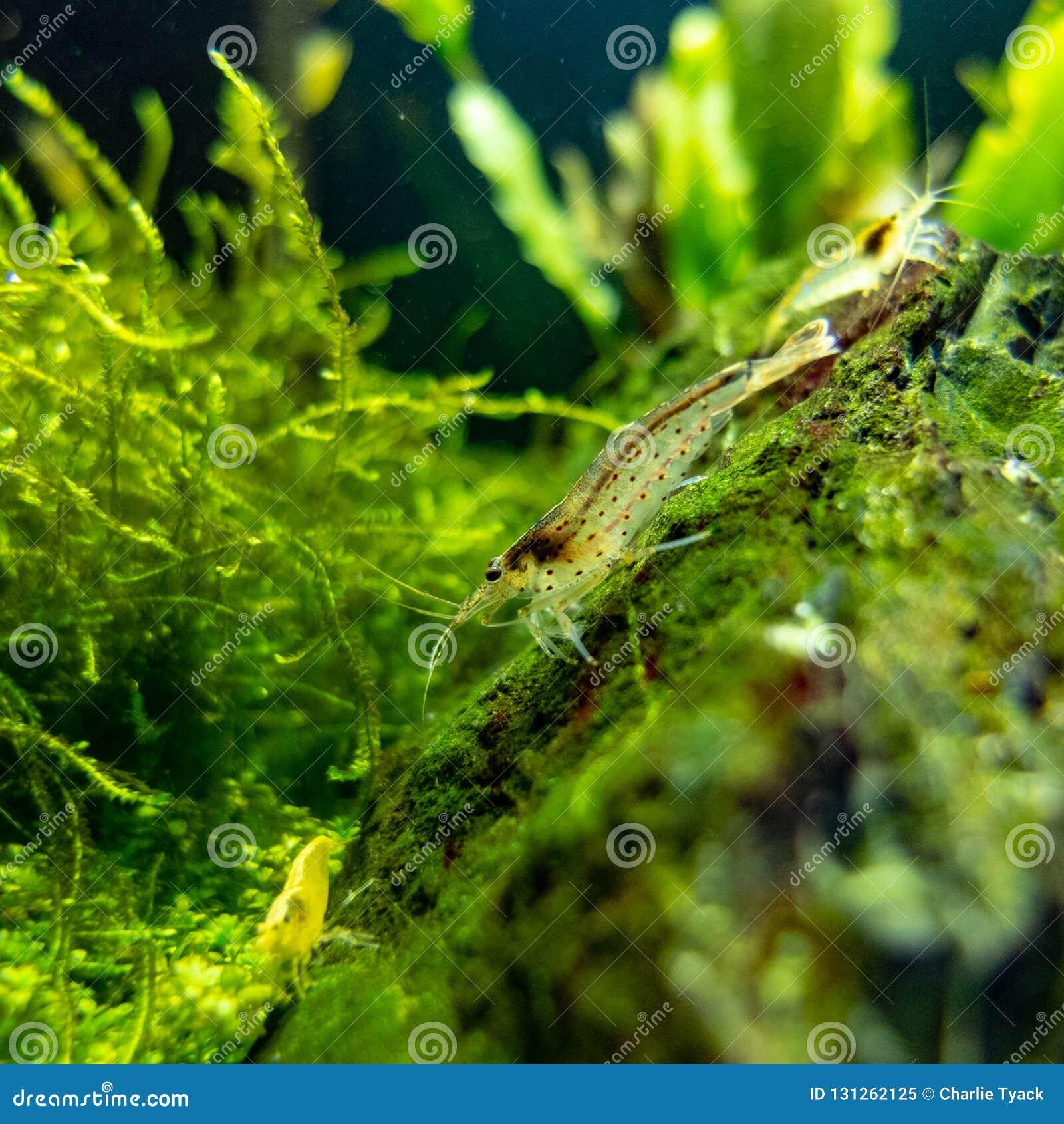 Amano and drawf yellow shrimps in nano freshwater tropical tank