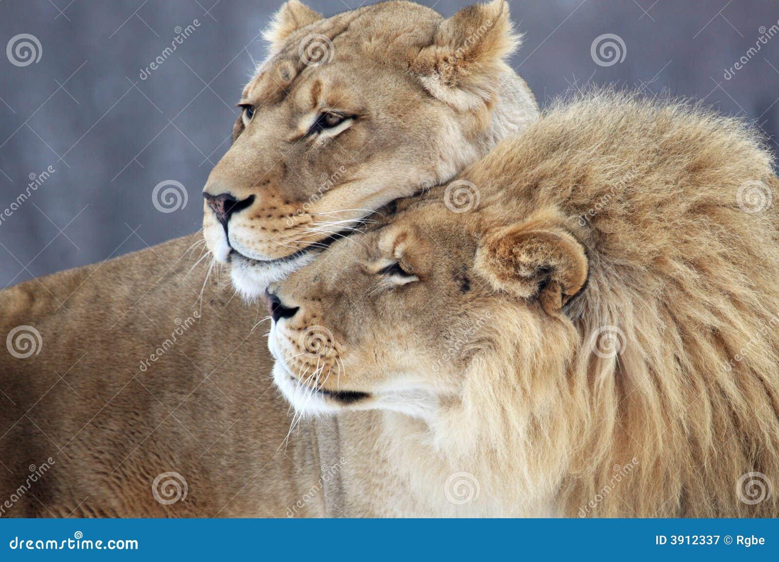 Amante del león