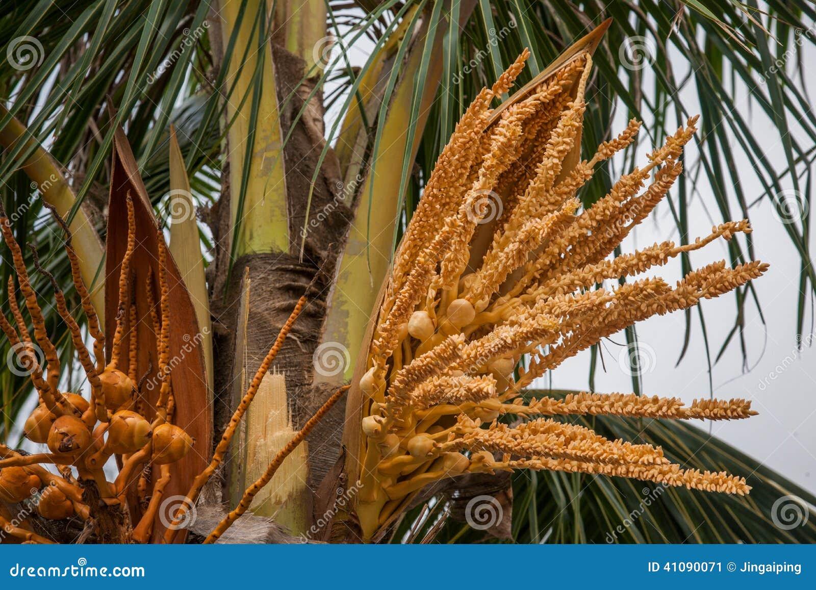 Amanti del fiore della noce di cocco della spiaggia di - Palma di cocco ...
