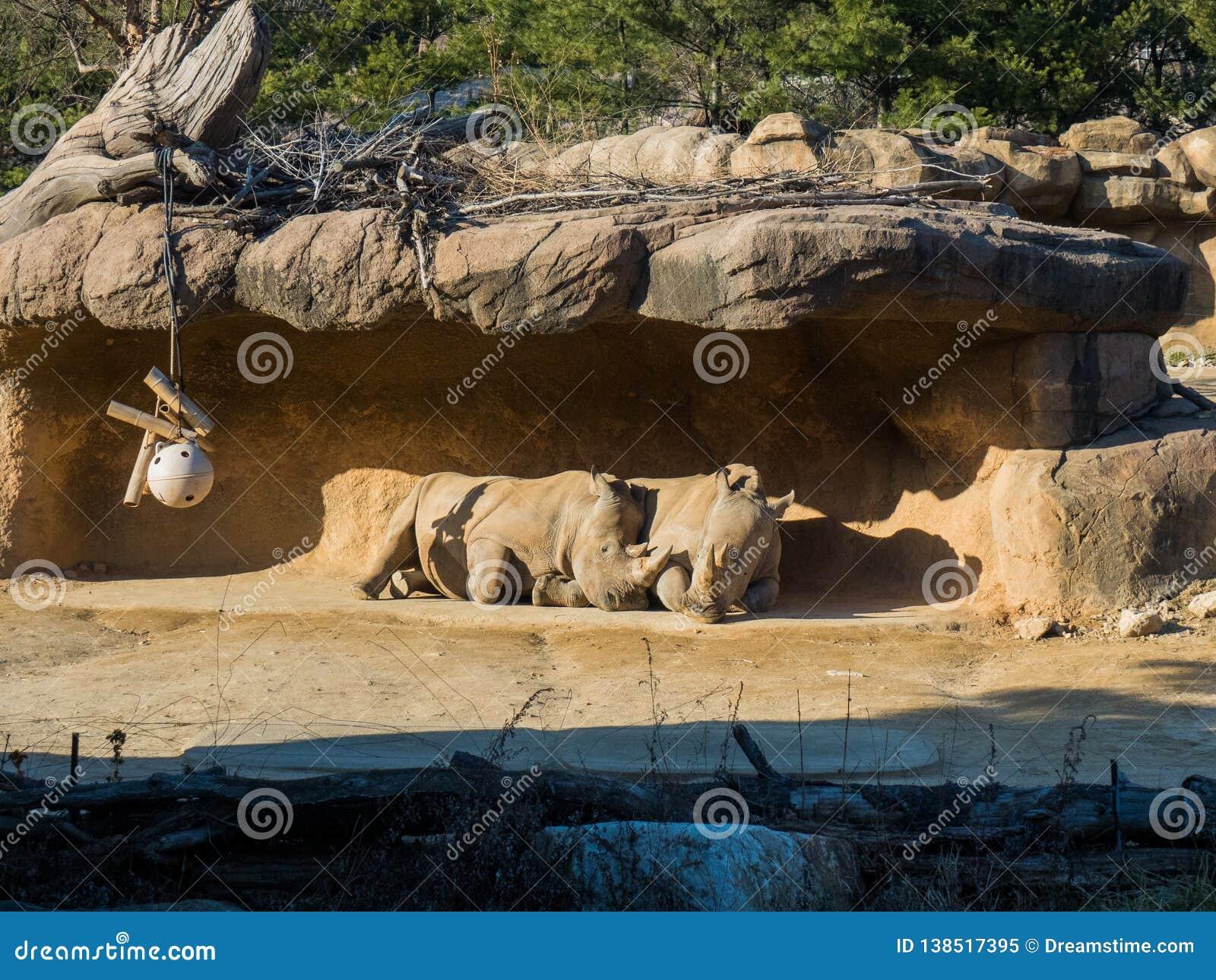 Amanti del rinoceronte sotto la roccia un giorno soleggiato