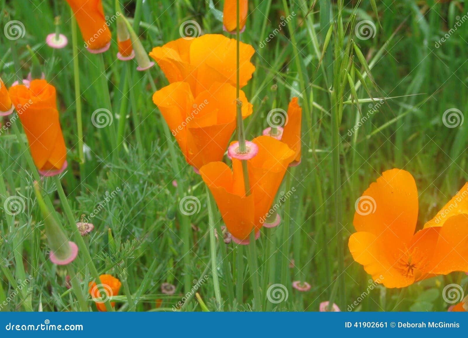 Amapolas anaranjadas
