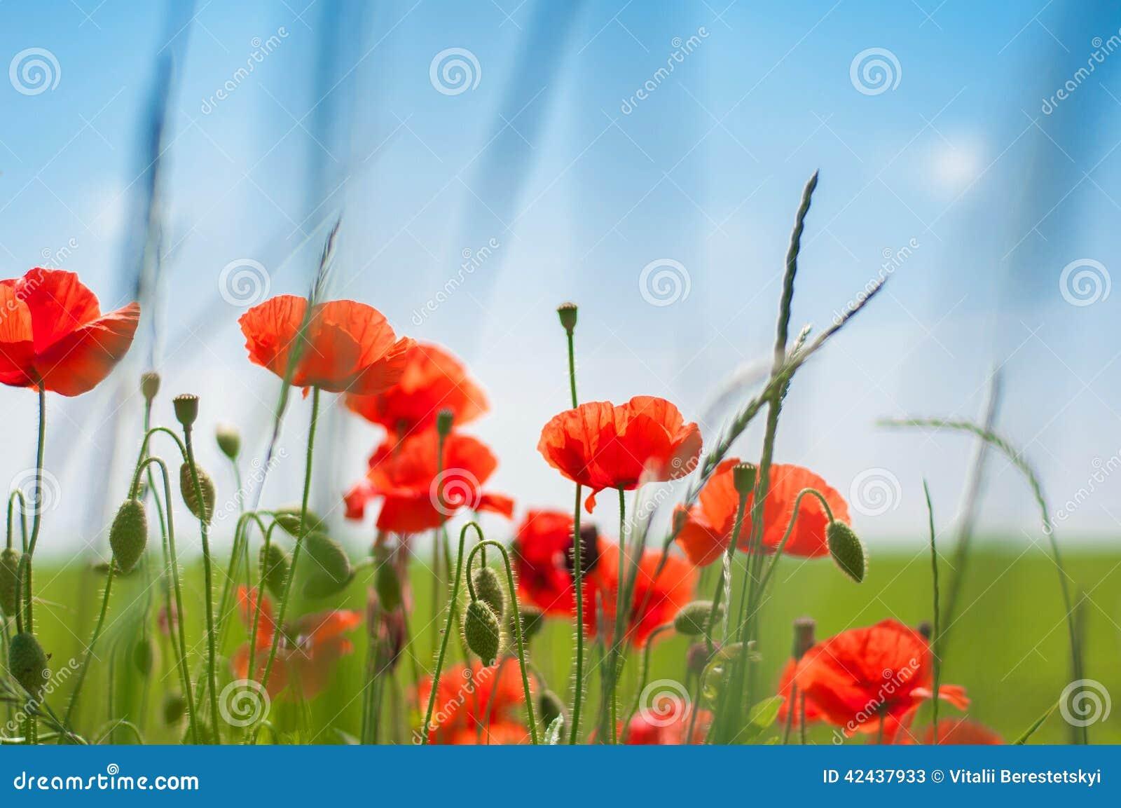 Amapolas Poppy Buds Are Awakening en el campo de la mañana