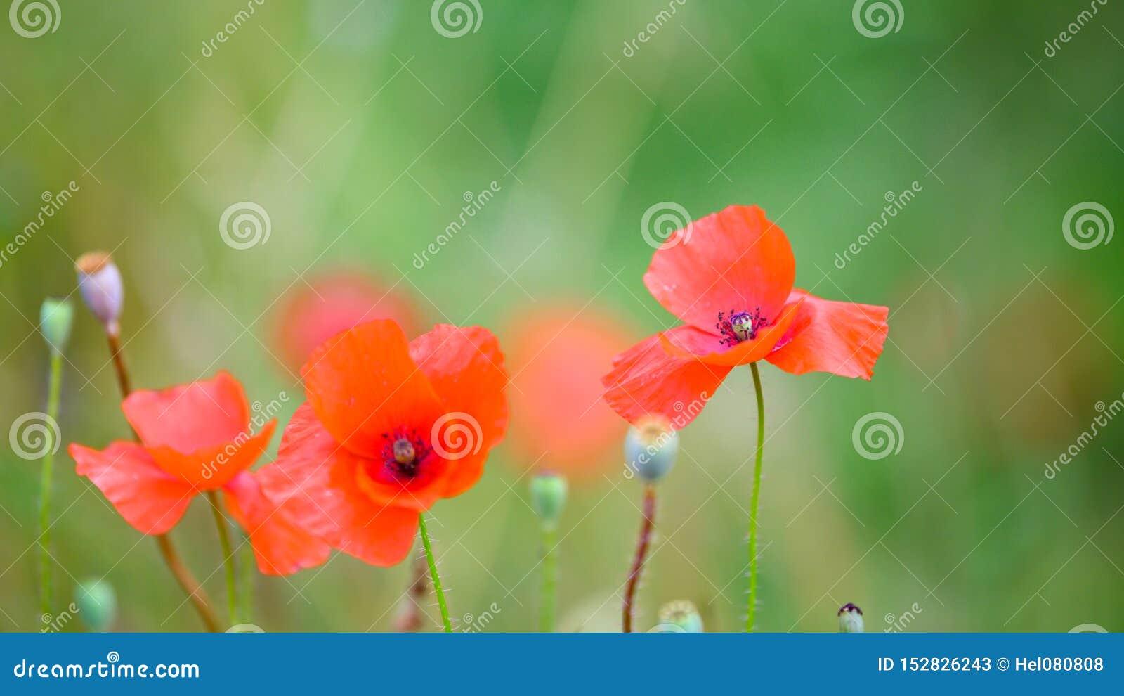 Amapolas que florecen en campo del verano, amapolas de florecimiento y cápsulas de la semilla de amapola